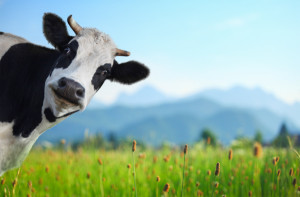 Funny cow on a green meadow looking to a camera with Alps on the